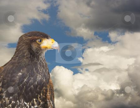 Eagle hawk predatory bird
