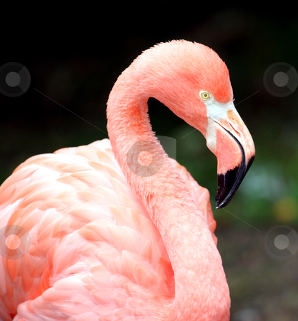 Portrait of a Pink Flamingo stock photo, Portrait of a colorful Pink Flamingo bird. by Martin Crowdy
