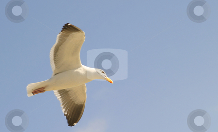 Seagull stock photo, Seagull gliding with the blue sky as a background. by Henrik Lehnerer