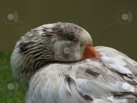Domestic Goose Resting stock photo, A domestic goose resting with its bill tucked into its feathers. by Kathy Piper