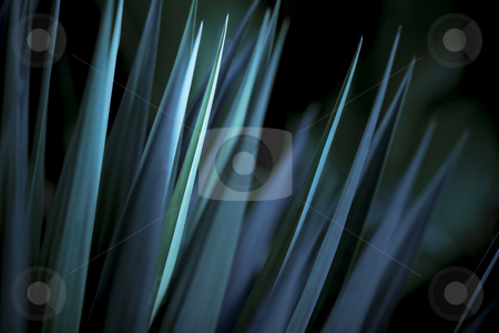 Blue and Green Yucca with moody lighting stock photo, Sharp pointed leaves of yucca filtered with selective blue lighting by Mark S