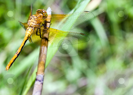 Adult Dragonfly stock photo, An adult dragonfly attached to a stick by Richard Nelson