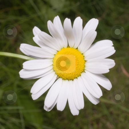 White Daisy stock photo, A white daisy shot against some green grass by Richard Nelson