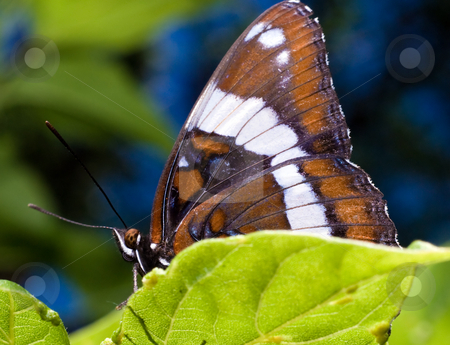 Butterfly stock photo, An adult butterfly attached to a green leaf by Richard Nelson