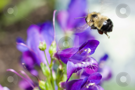 Bumblebee stock photo, A bumblebee hovering over a blue flower collecting pollen by Richard Nelson