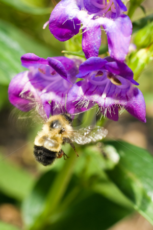 Bumble Bee stock photo, A bumble bee collecting pollen from a blue flower by Richard Nelson