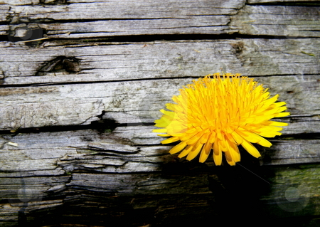 Dandelion stock photo, Dandelion growing from under landscape timber by Jack Schiffer