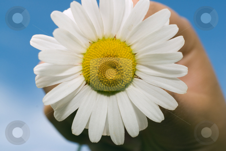 Daisy stock photo, Close-up of a daisy held up by a young girl against a blue sky by Richard Nelson