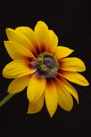 Yellow Daisy Closeup stock photo, A single yellow Daisy (black-eyed Susan) on a dark background. by Lynn Bendickson