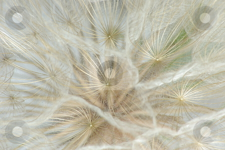 Dandelion Macro Background stock photo, Macro view looking into the seed umbrelas of a Dandelion showing the fine detail. by Lynn Bendickson