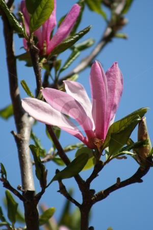Japanese Magnolia Bloom