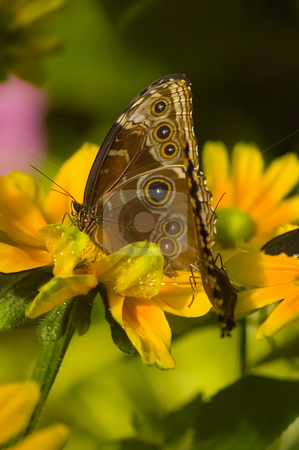 Butterfly stock photo, A butterfly eating nectar out of a flower by Vlad Podkhlebnik