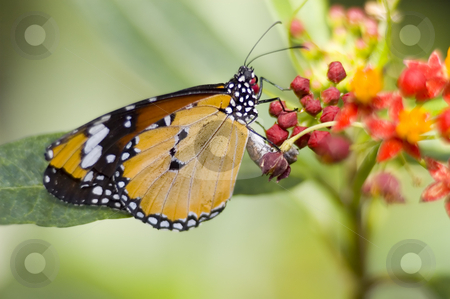 Monarch Butterfly stock photo, A butterfly eating nectar out of a flower by Vlad Podkhlebnik