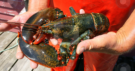 Live Lobster stock photo, A lve lobster, held in a lobsterman's hands by Tom and Beth Pulsipher