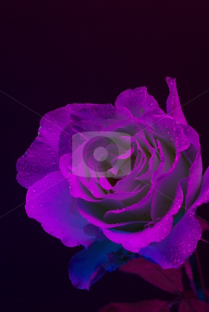 UltraViolet Rose stock photo, A Rose photphraphed under Ultraviolet light with hungreds of small water dropletts by Lynn Bendickson