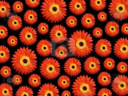 Daisy flowera background