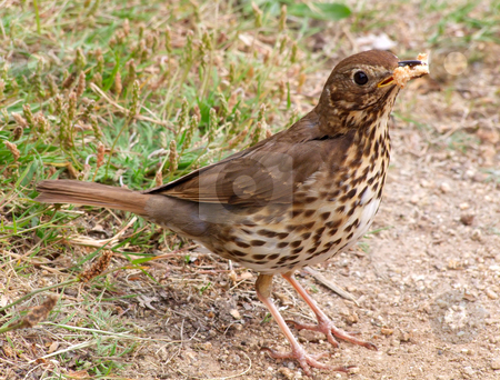 A Song Thrush collecting bread for its offspring. stock photo, A Song Thrush collecting bread for its offspring. by Stephen Rees
