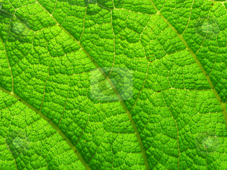 Natural background macro close up detail of a large vivid green leaf. stock photo, Natural background macro close up detail of a large vivid green leaf. by Stephen Rees