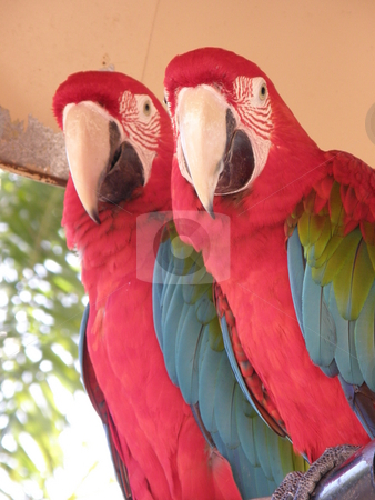 Two Parrots stock photo, Colorful Parrot by Ritu Jethani