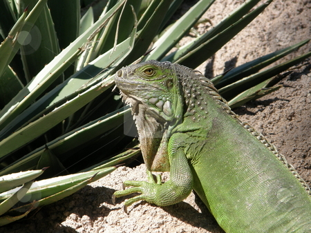 Iguana stock photo, Green Iguana by Ritu Jethani