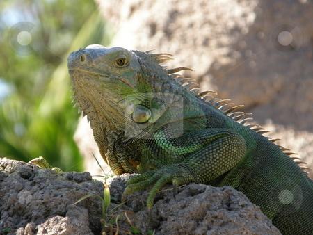 Iguana stock photo, Green Iguana by Ritu Jethani
