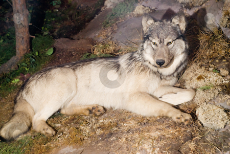 Wolf stock photo, A large wolf laying on the ground outside by Richard Nelson