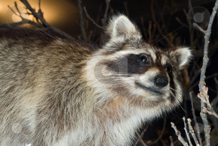 Raccoon stock photo, A wild racoon looking around, shot at night by Richard Nelson