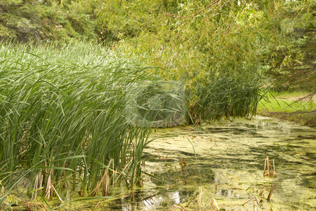 Swamp stock photo, A small swamp with reeds and algae growing in the water by Richard Nelson