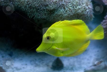 Yellow Tang Fish stock photo, A yellow tang fish swimming near the bottom of the aquarium by Richard Nelson