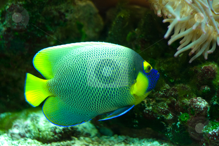 Marine Fish stock photo, A colorful marine fish with a yellow tail, swimming in an aquarium by Richard Nelson
