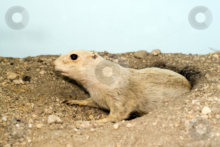 Prairie Dog stock photo, A small prairie dog poking out of a hole in the ground by Richard Nelson