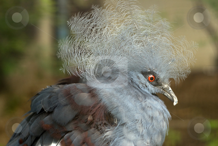 Victoria Crowned Pigeon stock photo, Closeup view of a fat Victoria Crowned Pigeon by Richard Nelson