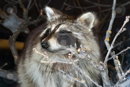 Wild Raccoon stock photo, A wild raccoon animal shot during the night by Richard Nelson