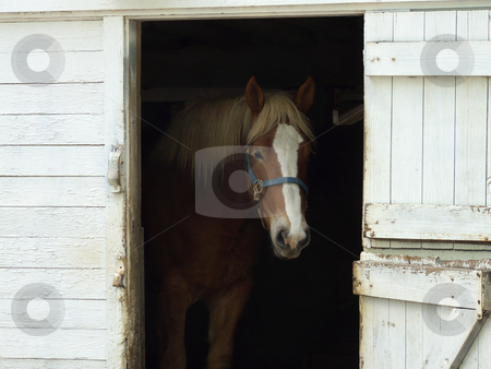 Draft Horse stock photo, A work horse standing at open barn door. by Kathy Piper