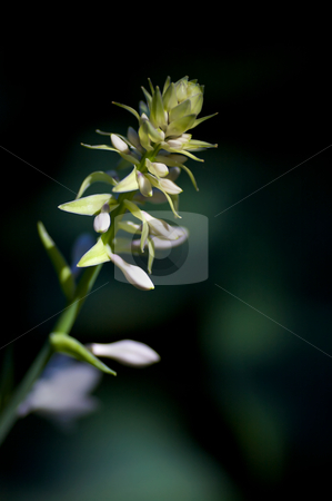 Hasta Bud stock photo, The beginnings of a new flower on a large hasta plant - very narrow DOF by Mitch Aunger