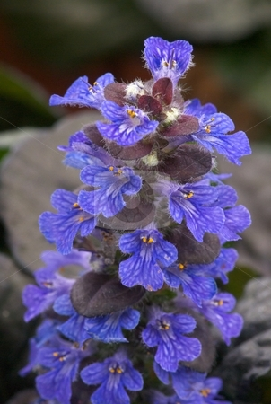 Blooming Black Scallop stock photo, Ajuga Black Scallop perennial in full bloom. by Charles Jetzer