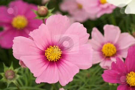 Cosmos Sonata Blush stock photo, Close-up of pink Cosmos Sonata Blush in bloom by Charles Jetzer