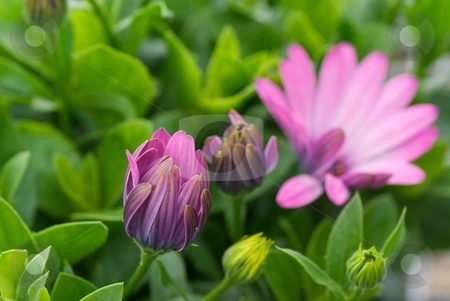 Opening Soprano Stages stock photo, Close-up of the flower opening stages of a Osteospermum Soprano Light Purple by Charles Jetzer