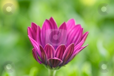 Opening Purple Soprano stock photo, Osteospermum Soprano Purple bloom petals just after opening. by Charles Jetzer