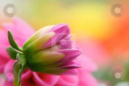 Dahlia Opening stock photo, Close-up of a pink Dahlia starting to bloom with yellow, pink, and orange Dahlias blurred in the background. by Charles Jetzer