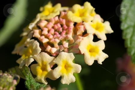 Lantana Landmark Bloom stock photo, Closeup of Landmark series Lantana bloom. by Charles Jetzer