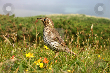 A song thrush, Isles of Scilly, UK stock photo, A song thrush, Isles of Scilly, UK by Stephen Rees