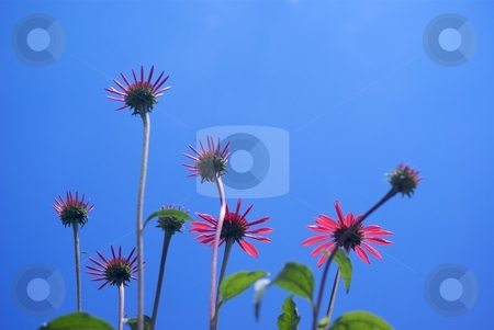 Reaching Big Sky Summer Sky stock photo, Big Sky Summer Sky Echinacea blooms from below blue sky behind. by Charles Jetzer