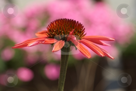 Big Sky Summer Sky Side View on Pink stock photo, Big Sky Summer Sky Echinacea side view in front of pink flowers. by Charles Jetzer