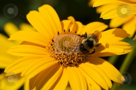 Bee on Tuscan Sun stock photo, Bumble Bee on a Tuscan Sun Heliopsis hybrid. by Charles Jetzer