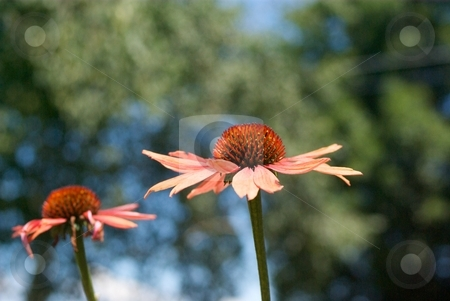 Big Sky Summer Sky Woodland stock photo, Big Sky Summer Sky Echinacea side view in front of green foliage. by Charles Jetzer
