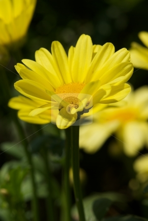 Coreopsis Creme Brulee stock photo, Close-up of a blooming Coreopsis Cr??me Brulee by Charles Jetzer