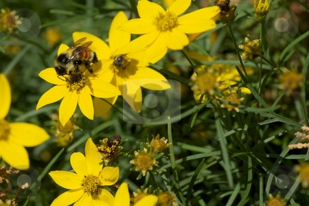 Orange & Yellow Banded Bumble Bee on Bidens II stock photo, Close-up of an  orange and yellow striped bumble bee collecting pollen from a Bidens Solaire. by Charles Jetzer