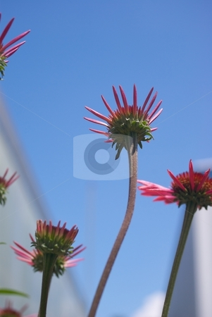 Residential Reaching Big Sky Summer Sky stock photo, Big Sky Echinacea blooms from below blue sky and house behind. by Charles Jetzer