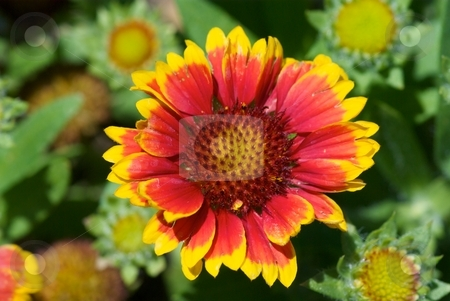 Arizona Sun Flower II stock photo, Close-up of a blooming Arizona Sun Gaillardia of the sunflower family from above. by Charles Jetzer